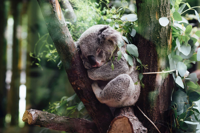 sen koala pobudka wstawanie