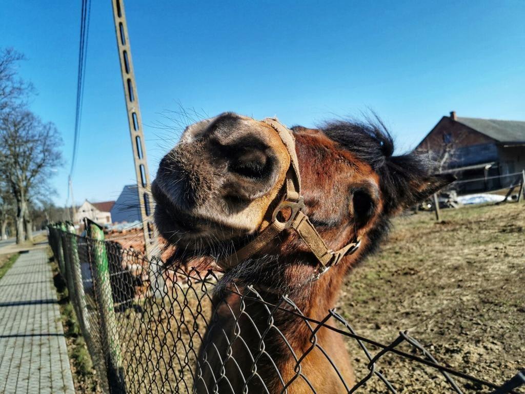 portret konia z zabawnym pyszczkiem