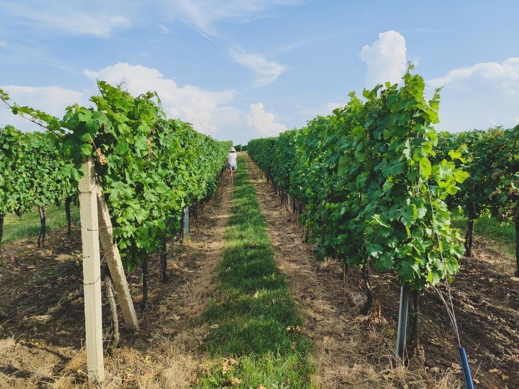 Morawy Czechy pola winorośli