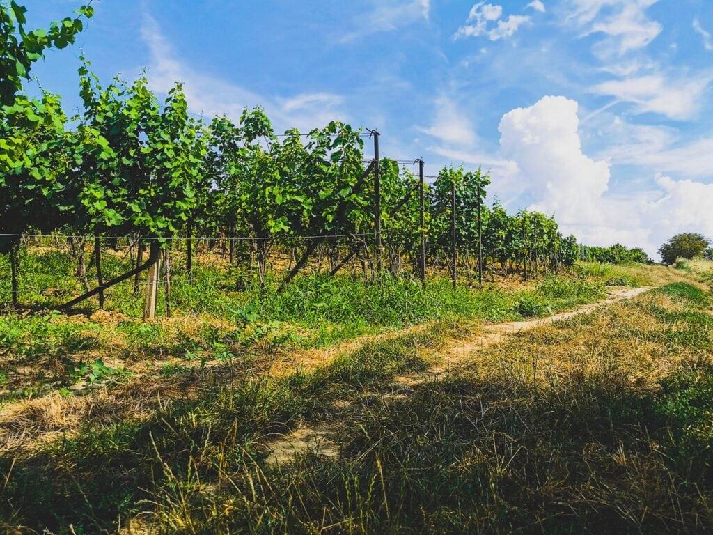Czeskie Morawy pole winorośla winogron w słoneczny dzień
